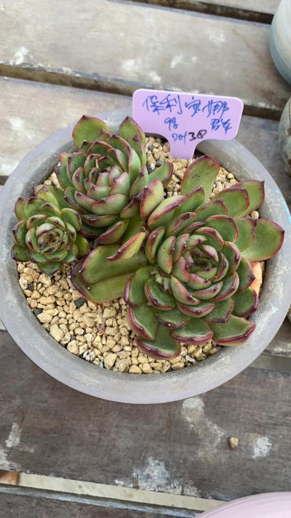 Succulent Plant 保利安娜