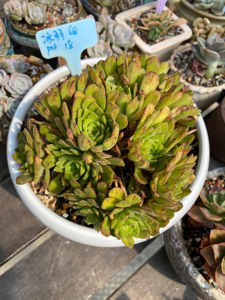 Succulent plant 冰羽